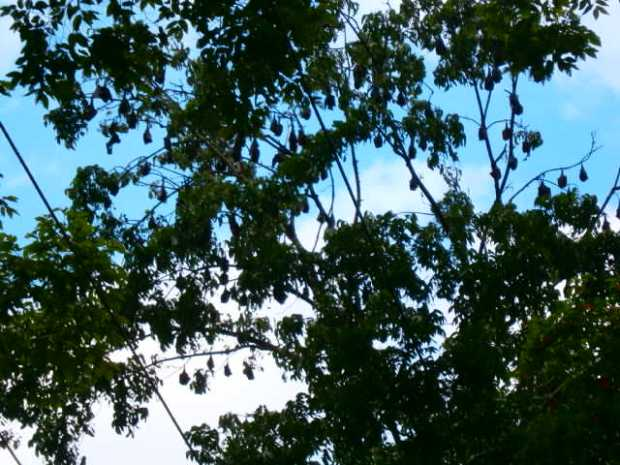 Hanging Fruit Bats